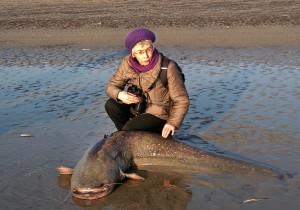 Bij het huidige spuiregime van de Haringvlietsluizen spoelt zoetwatervis, zoals deze reusachtige meerval, tijdens het spuien naar 'buiten' en legt dan het loodje. (foto: Jeanne Soetens)