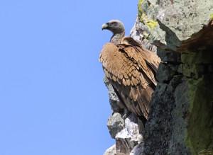 In Monfragüe verblijven veel vale gieren. (foto: Jacques van der Neut)