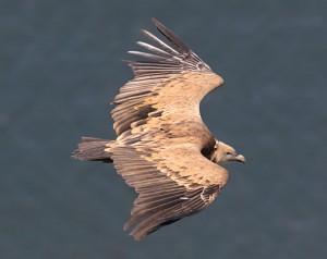 Bij een harde wind zeilen de reusachtige vale gieren vlak langs het kasteel in Monfragüe. (foto: Jacques van der Neut)