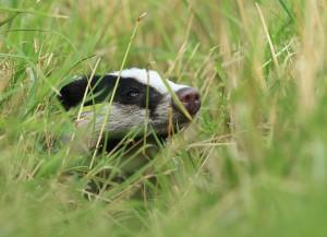 Een nieuwsgierige das steekt zijn kop uit de vegetatie. (foto: Jacques van der Neut)
