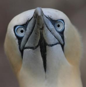 gannet1