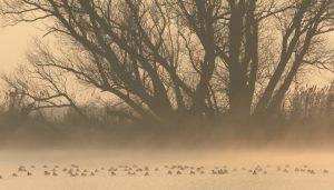 birds_waterfowl-in-the-mist